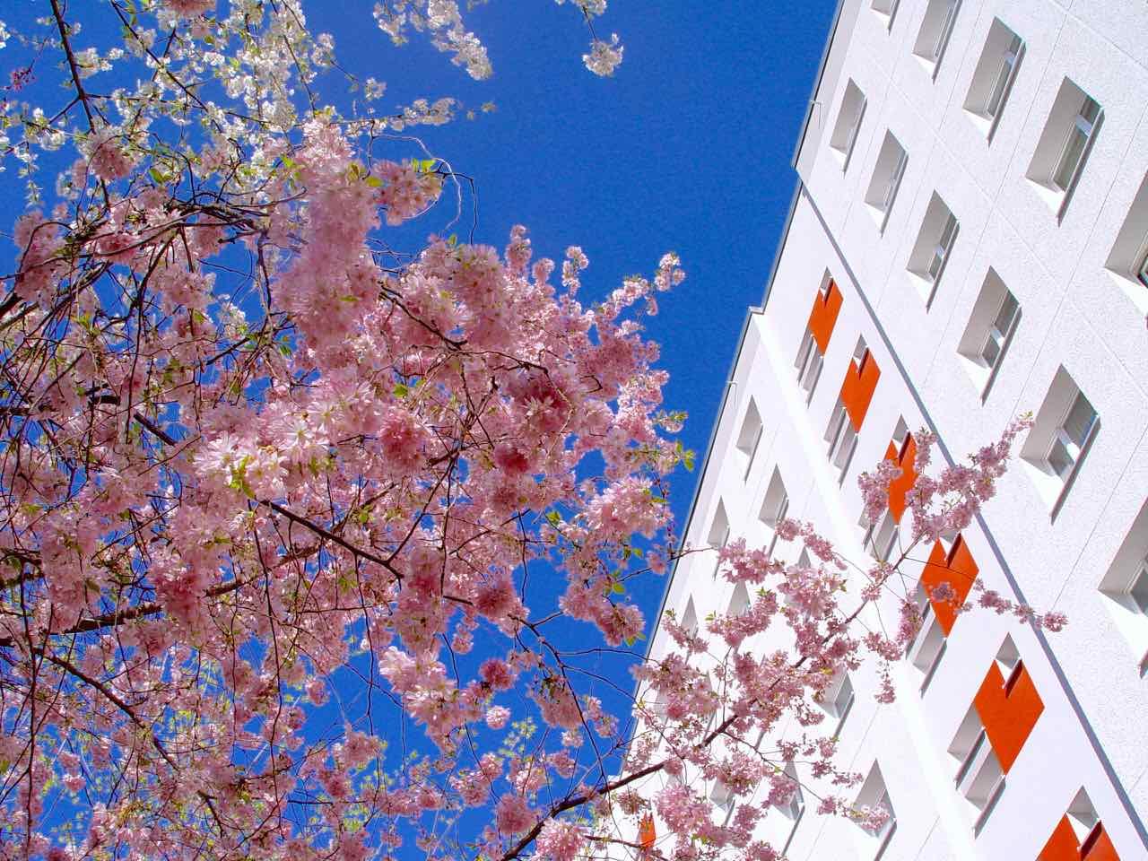 Kirschblüte im Innenhof am Spittelmarkt - Foto: arts4PR by Thomas J. Jandke